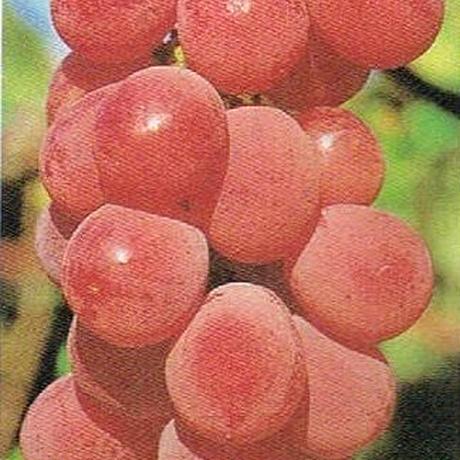 ぶどう 種なし 安芸クイーン 3kg