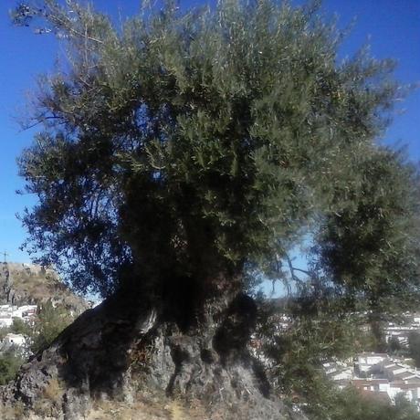 サハリ エキストラバージンオリーブオイル(ルシオ種)       500ml