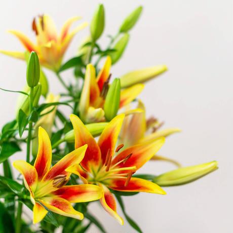 【隔週】■2021ユリの定期便■~Life  with Lilies~ユリさんと生活してみませんか??