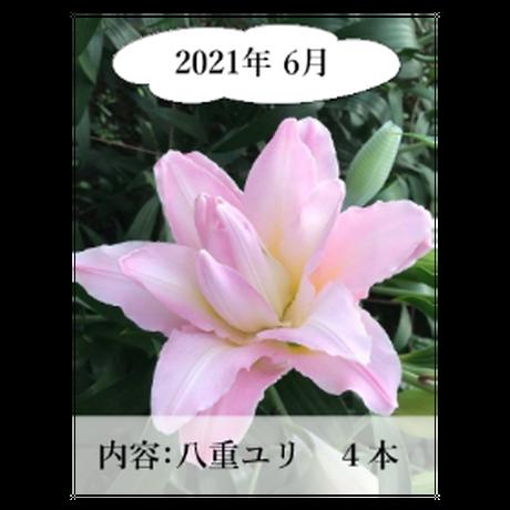 【定期便】Life with  Lilies~ユリと一緒に暮らしてみませんか?~毎月違うユリが生産者から直接届く!ワクワク感!発送先を変えることも可能です♪