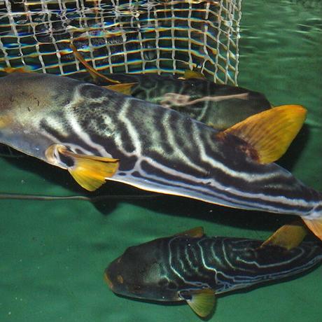 【鐘の岬活魚センター】しまふく炙り刺身