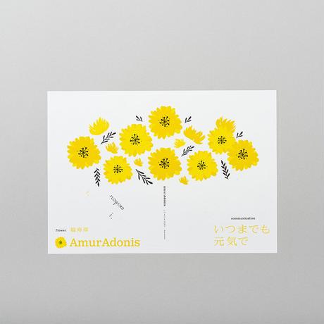 AmurAdonis 福寿草