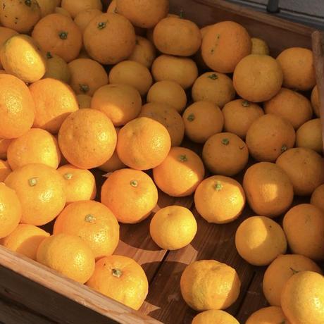 上勝町幻の柑橘「完熟ゆこう」果実 *売切れの際はお問合せください