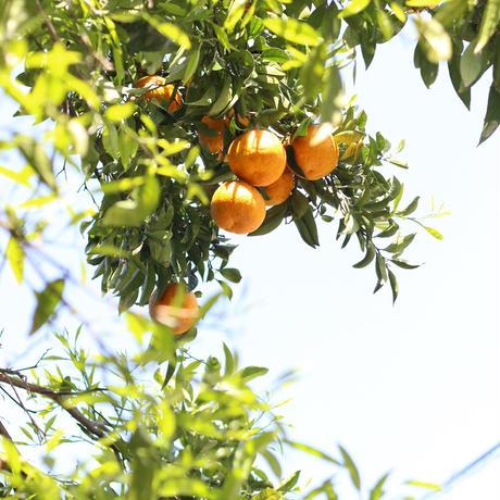 鳴門オレンジとチョコレートのビスコッティ