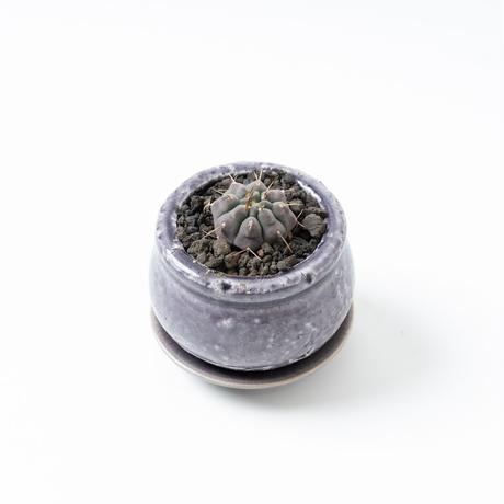 ギムノカリキウム・バッテリー