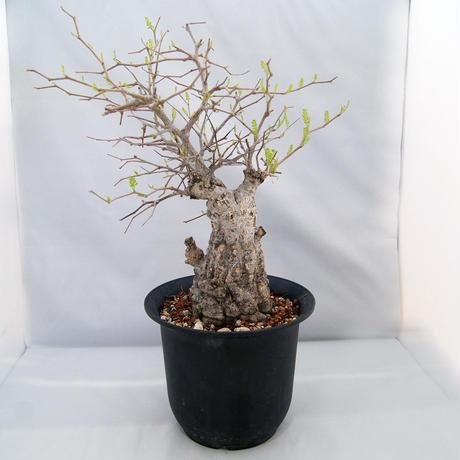 オペルクリカリア・パキプス(Operculicarya pachypus)【送料無料】