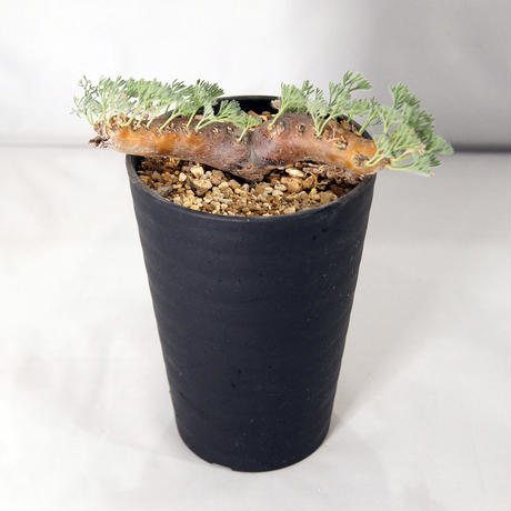 塊根植物 サルコカウロン・ムルチフィズム(Sarcocaulon multifidum)【送料無料】