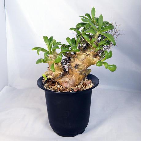 塊根植物 チレコドン・レティキュラーツス(Tylecodon reticulatus)  万物想【送料無料】