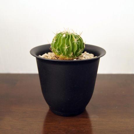 サボテン 縮玉(Echinofossulocactus zacatecasensis)