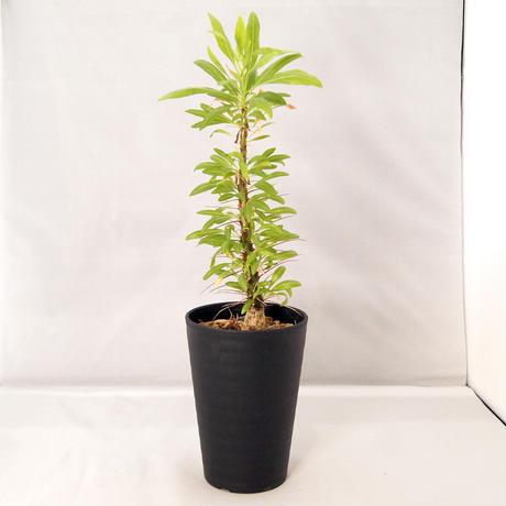 塊根植物 フォークイエリア・プルプシー(Fouquieria purpusii)【送料無料】