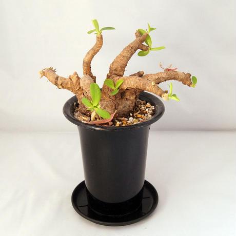 多肉植物 ユーフォルビア・イトレメンシス(Euphorbia itremensis)【送料無料】