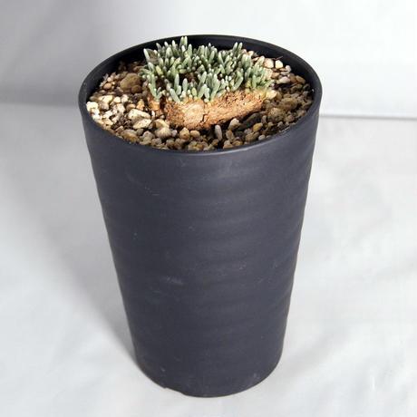 多肉植物  アボニア・クイナリア (Avonia quinaria)  赤花アルストニー 【送料無料】
