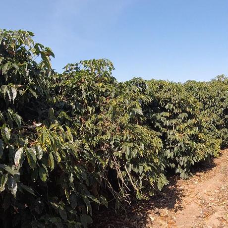 ブラジル イルマス・ペレイラ農園 「ブルボン・アマレロ」深煎り 200g