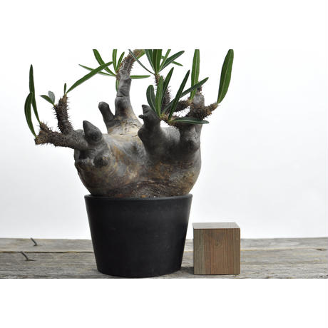 Pachypodium rosulatum var. gracilius〈幹幅16.8cm〉