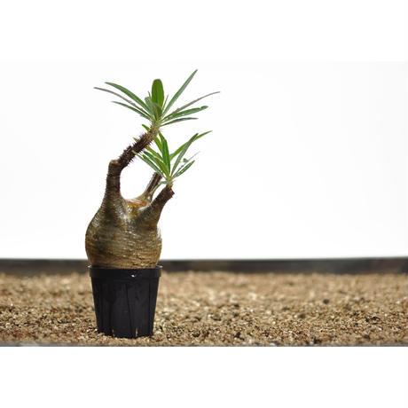 Pachypodium rosulatum var. gracilius〈幹幅7.9cm〉