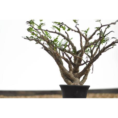 Senna meridionalis no.0206141