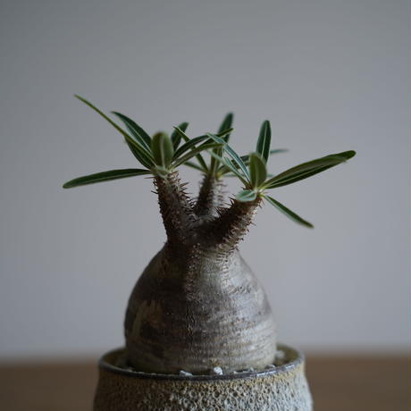 Pachypodium rosulatum var. gracilius × Tomoharu Nakagawa植木鉢〈幹幅6.9cm〉