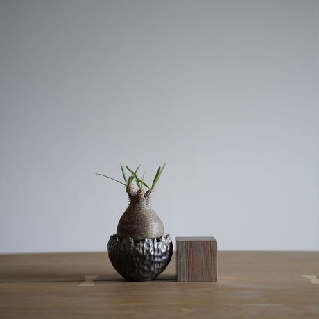 Pachypodium rosulatum var. gracilius × Tomoharu Nakagawa植木鉢〈幹幅7.3cm〉