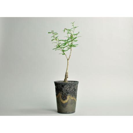 Operculicarya pachypus seedling