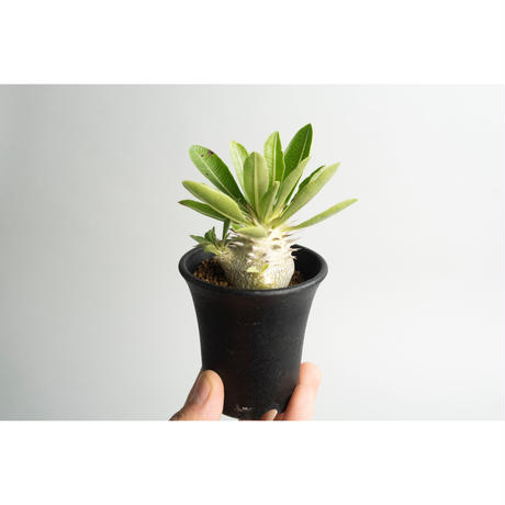 Pachypodium densicaule 恵比寿大黒 seedling no.0109073