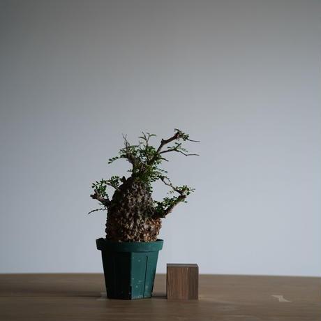 Operculicarya  pachypus 〈幹幅10.7cm〉