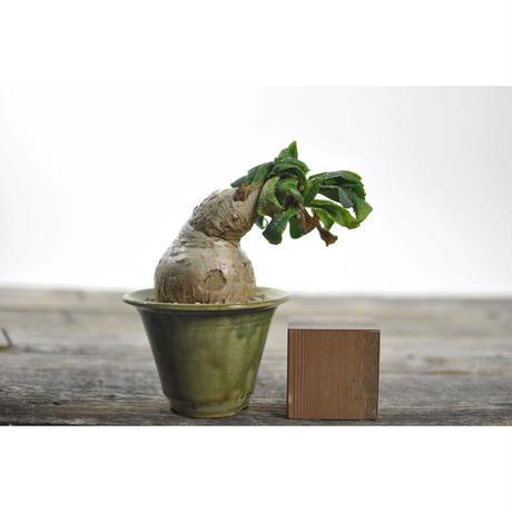 Euphorbia primlifolia × Tomoharu Nakagawa植木鉢