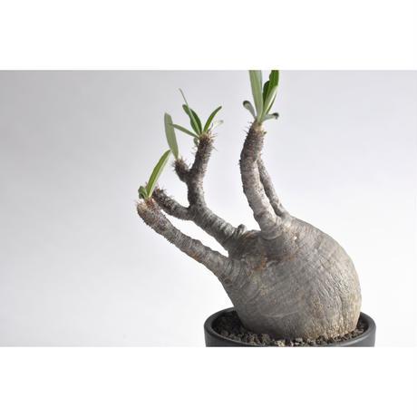 Pachypodium rosulatum var. gracilius no.0108092
