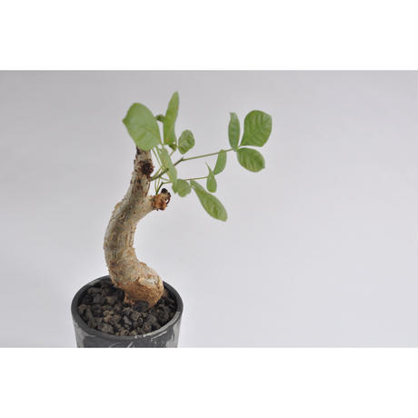 Commiphora guidottino.0107251