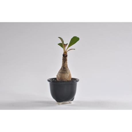 Euphorbia ramenano.0107252