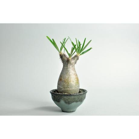 Pachypodium rosulatum var. gracilius × Tomoharu Nakagawa植木鉢 no.0109143