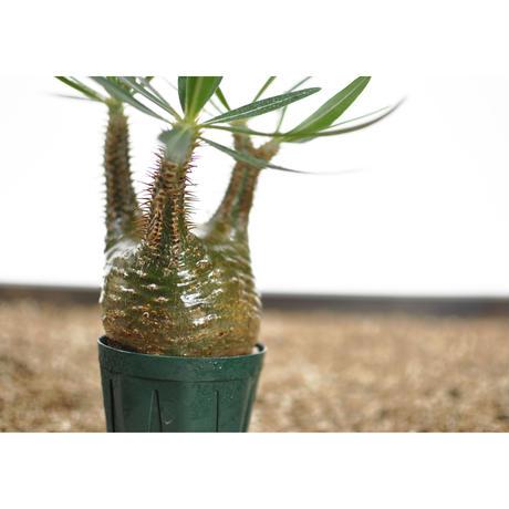 Pachypodium rosulatum var. gracilius〈幹幅7.5cm〉