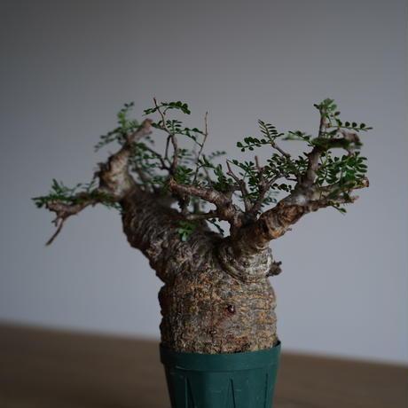 Operculicarya  pachypus 〈幹幅8.3cm〉