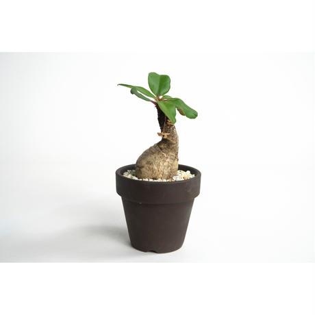 Euphorbia ramena no.0109032