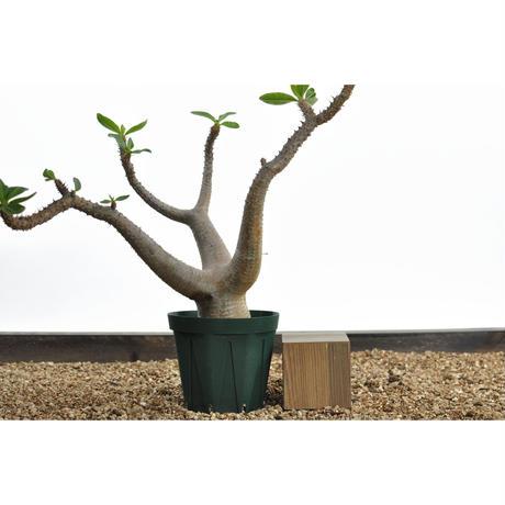 Pachypodium makayense 〈幹幅5.3cm〉