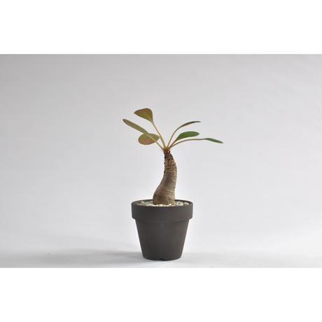 Euphorbia ramena no.0107253