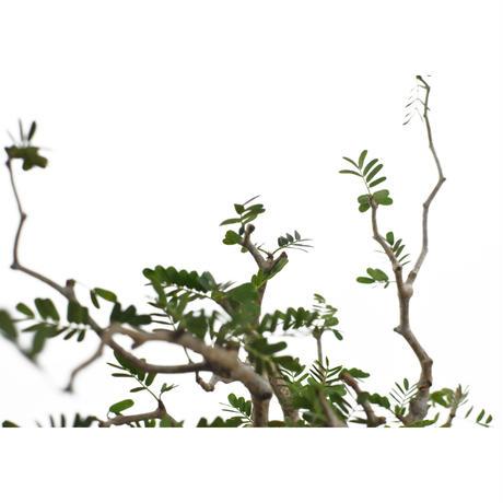 Senna meridionalis