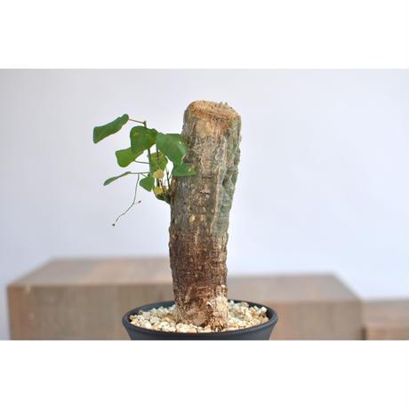 Adenia olaboensis