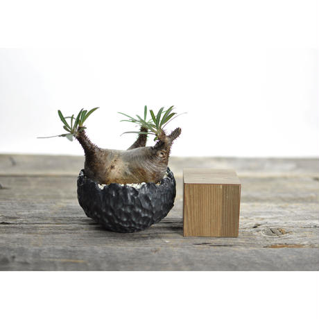 Pachypodium rosulatum var. gracilius × Tomoharu Nakagawa植木鉢〈幹幅9.2cm〉