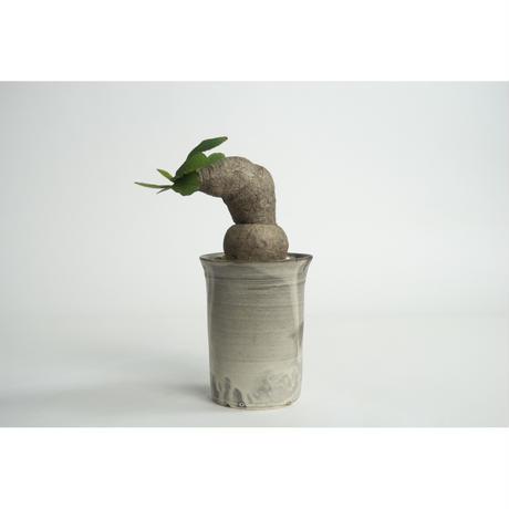 Euphorbia primlifolia no.0109031