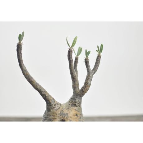 Pachypodium rosulatum var. gracilius × Tomoharu Nakagawa植木鉢〈幹幅8.4cm〉