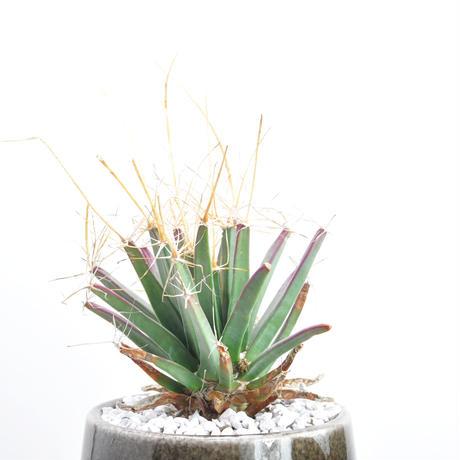 Leuchtenbergia principis 晃山