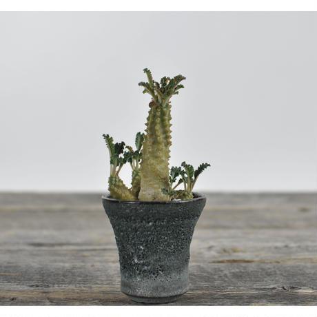 Dorstenia lavranii  × Tomoharu Nakagawa植木鉢