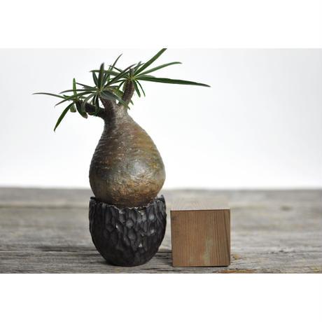 Pachypodium rosulatum var. gracilius × Tomoharu Nakagawa植木鉢〈幹幅8.1cm〉