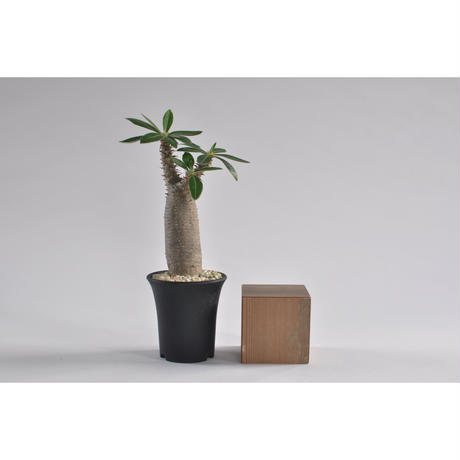 Pachypodium makayense no.0107251