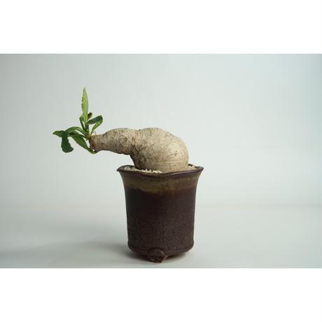 Euphorbia primlifolia no.0109033