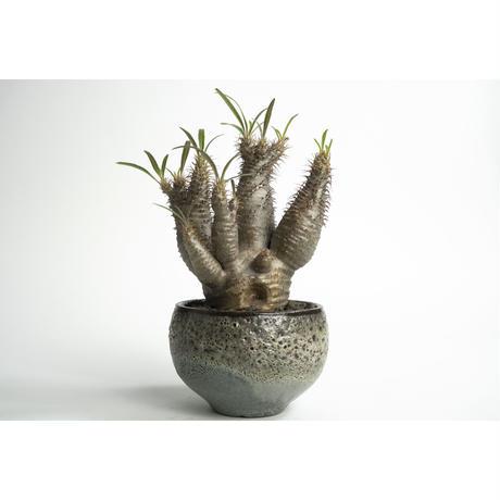 Pachypodium rosulatum var. gracilius × Tomoharu Nakagawa植木鉢 no.0108231