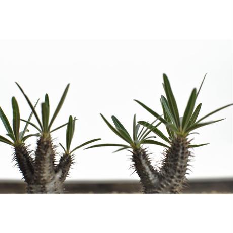 Pachypodium rosulatum var. gracilius〈幹幅10.3cm〉
