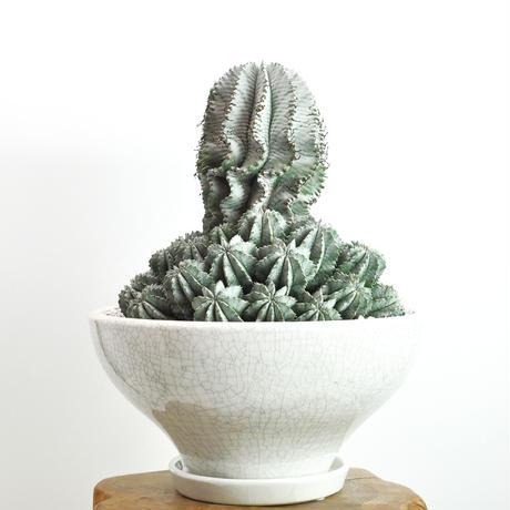 Euphorbia horrida 特白