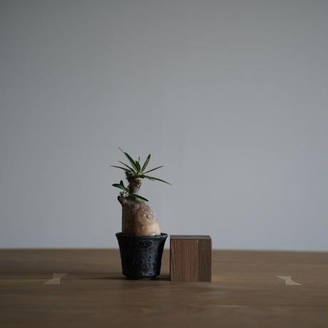 Pachypodium rosulatum var. gracilius × Tomoharu Nakagawa植木鉢〈幹幅5.9cm〉