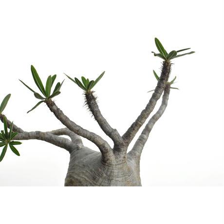 Pachypodium rosulatum var. gracilius × Tomoharu Nakagawa植木鉢〈幹幅10cm〉